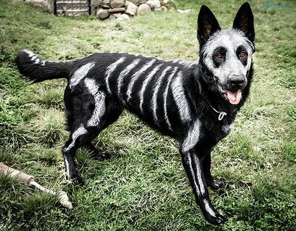 """Thậm chí là thú cưng còn được """"trang điểm"""" toàn thân để """"quẫy"""" Halloween cùng chủ"""