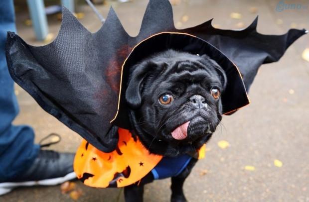 Chú cún cưng được cho hóa trang Halloween bằng cách mặc áo choàng giống như Bá tước Darcula (ma cà rồng)