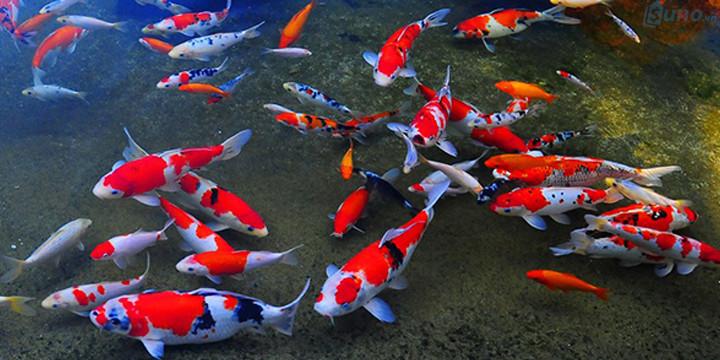 Cá phong thủy hợp mệnh, tuổi dùng để nuôi ở nhà hay văn phòng cũng là mặt hàng phong thủy khá phổ biến